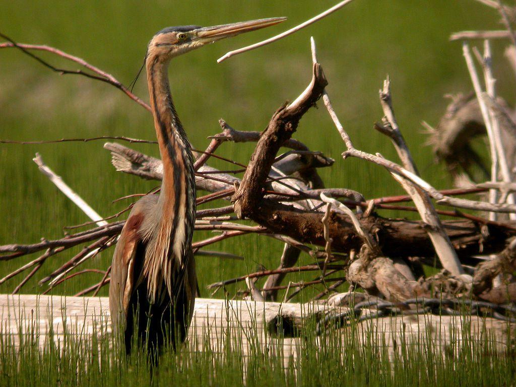 Héron pourpré © D.Combrisson - Parc national des Écrins