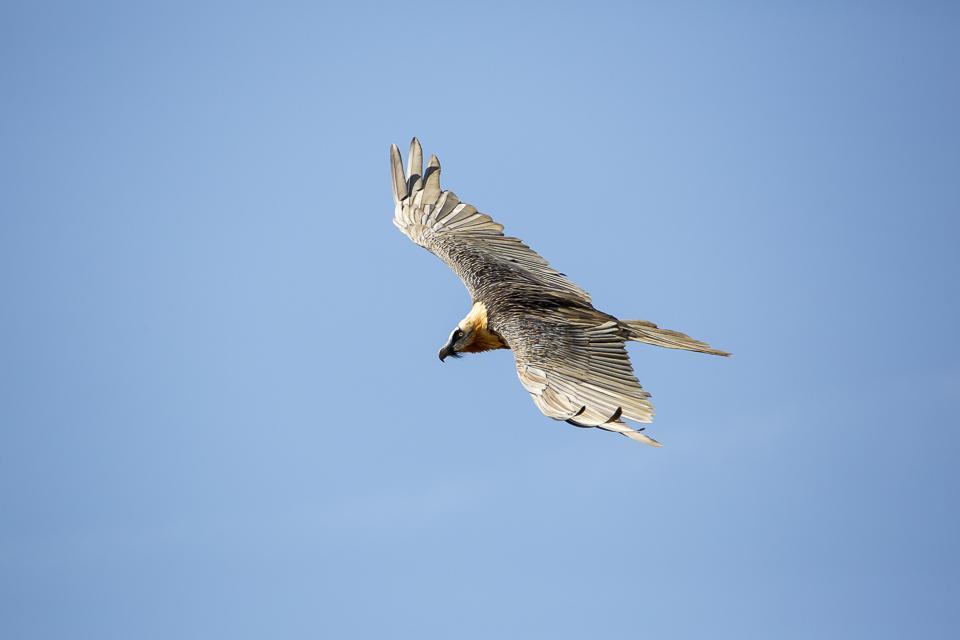 L'un des adultes en vol - © T- Maillet  Parc national des Écrins - août 2018