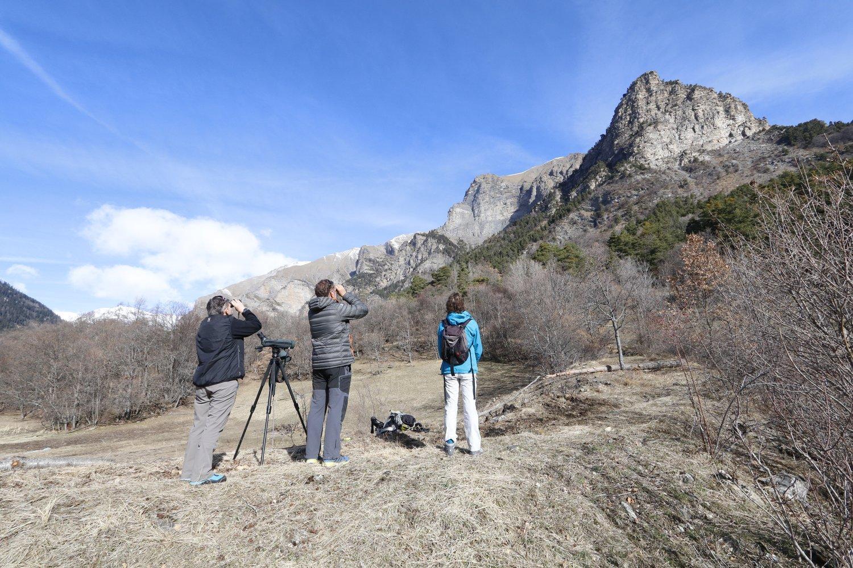 Observation faucon pèlerin dans l'Embrunais - mars 2019 - photo Martial Bouvier - Parc national des Écrins