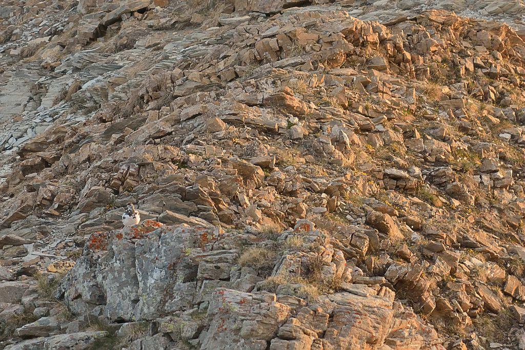 lagopède alpin en plumage intermédiaire au lever du soleil -© M.Coulon - Parc national des Écrins