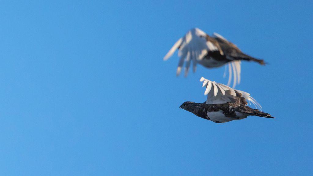 Lagopède en vol © P.Saulay - Parc national des Écrins
