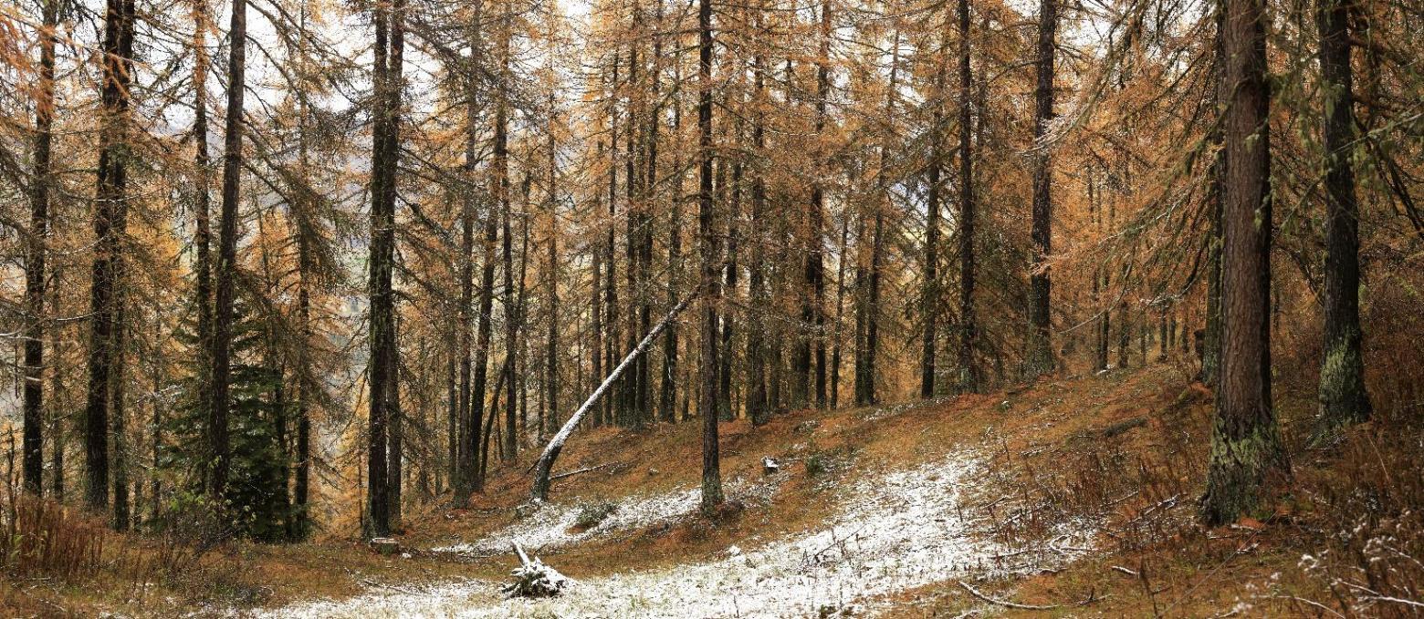 Site de nidification en pré-bois de mélèze après la saison de pâturage, Orcières 06 Novembre 2019 © Marc Corail. Parc national des Écrins