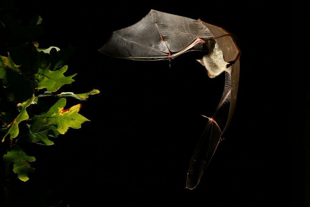 Grand murin - photo David Aupermann