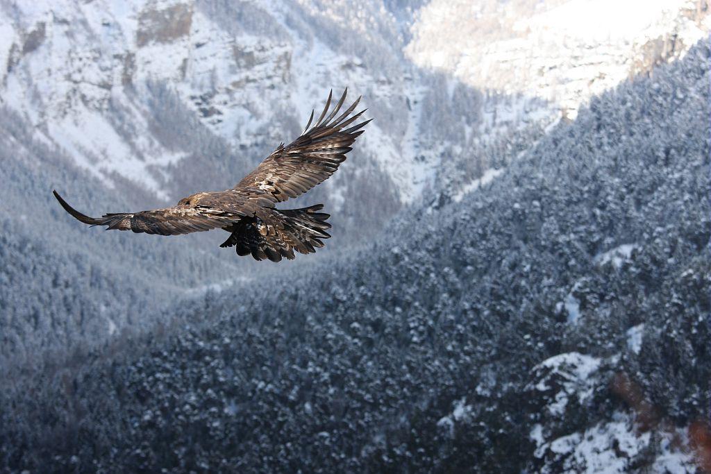 Aigle en vol - photo D.Combrisson - Parc national des Ecrins