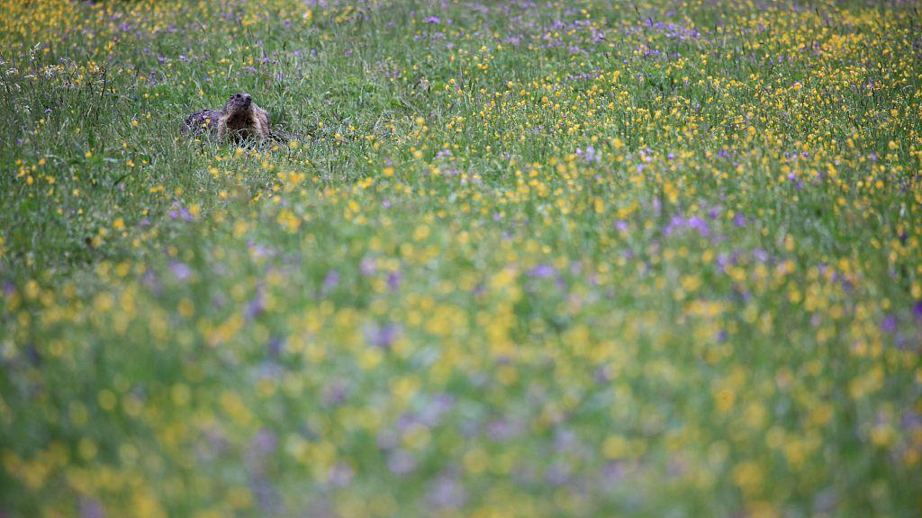 Marmotte à CHarnières - photo M.Corail - Parc national des Ecrins
