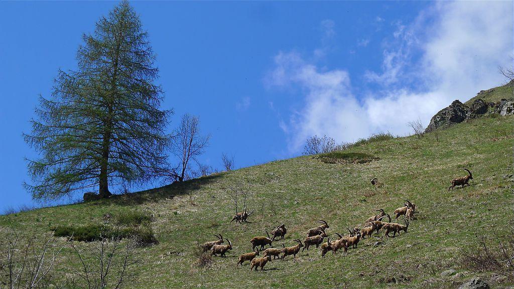 Bouquetins dans le Tourrond au printemps - photo R.Papet - Parc national des Ecrins