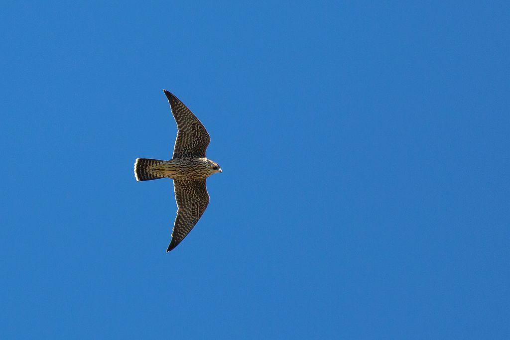 Faucon pelerin en vol - Photo P.Saulay - Parc national des Ecrins