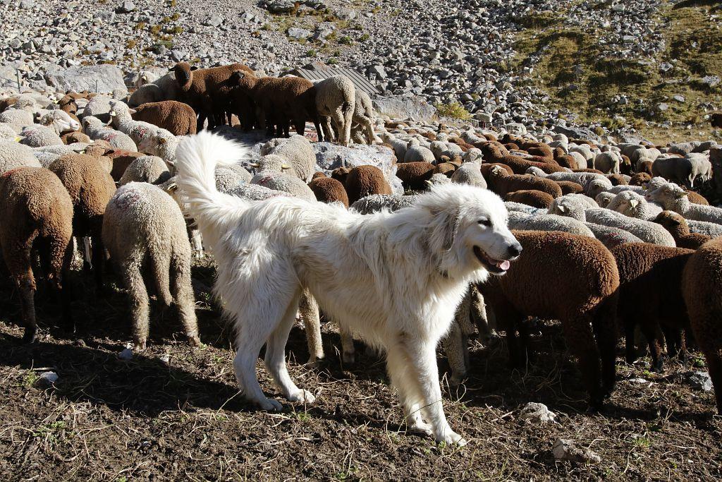 Chien de protection - troupeau Longo Maï à l'Alpe du Lauzet - photo C-Courisier - Parc national des Ecrins
