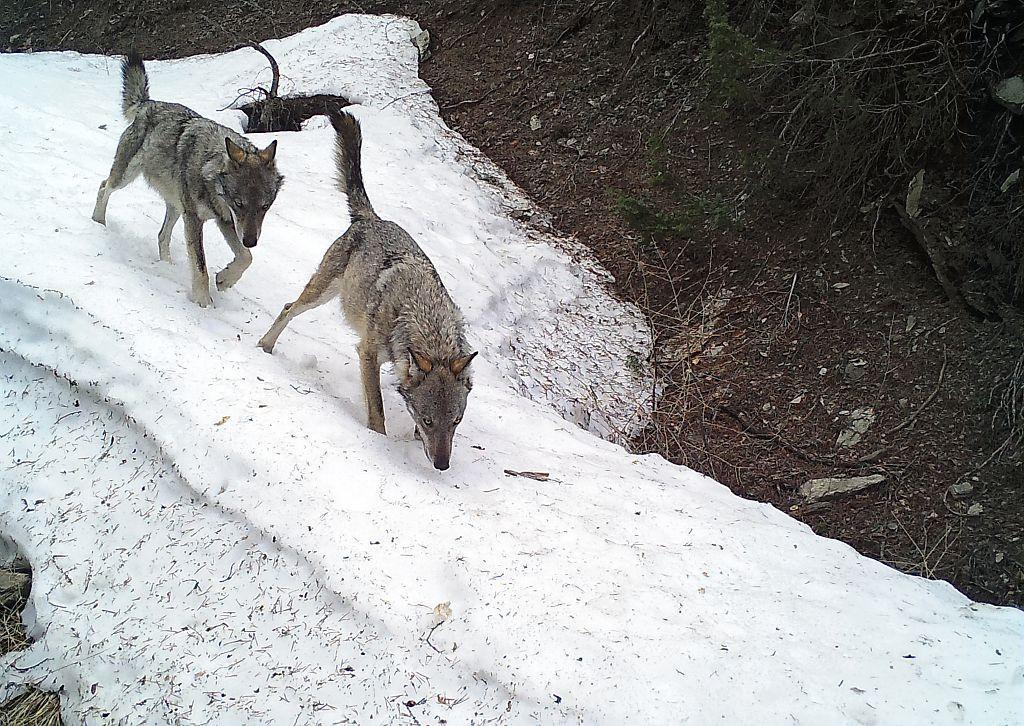 Loups au piège photo - Parc national des Ecrins