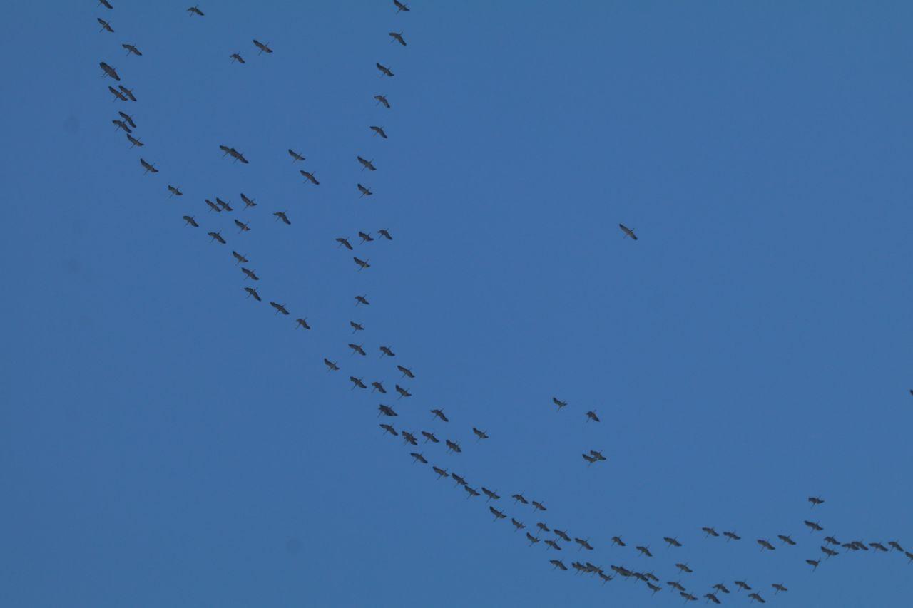 Vol de grues cendrées dans l'Embrunais- © L. Ripert