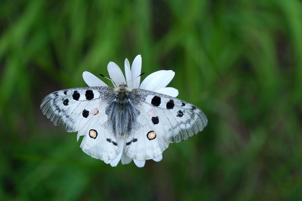 Papillon apollon - © D. Vincent - PNE