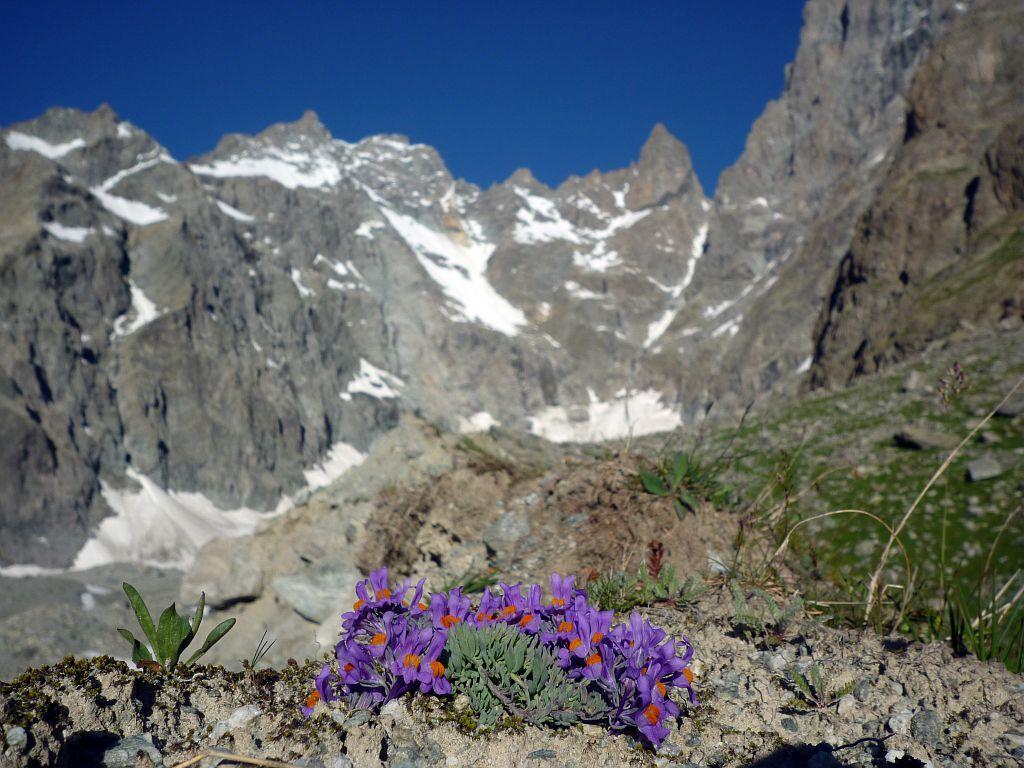 Glacier Noir - Linaire des Alpes avec le pic Coolidge et le Fifre en arrière-plan ©Thierry Maillet - Parc national des Ecrins