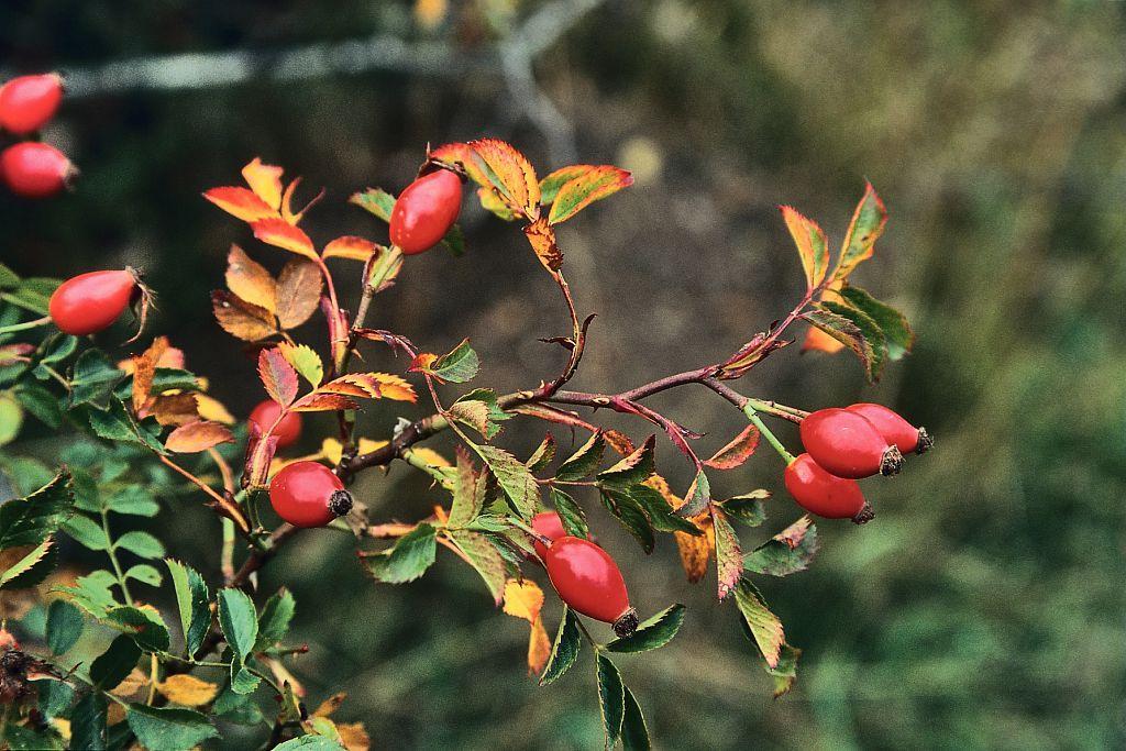 Églantier © B. Nicollet - Parc national des Ecrins