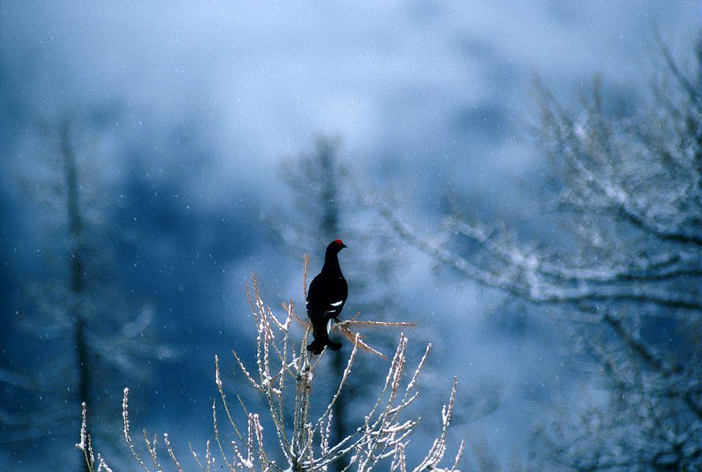 Tétras lyre au sommet d'un arbre © R. Chevalier, PNE.