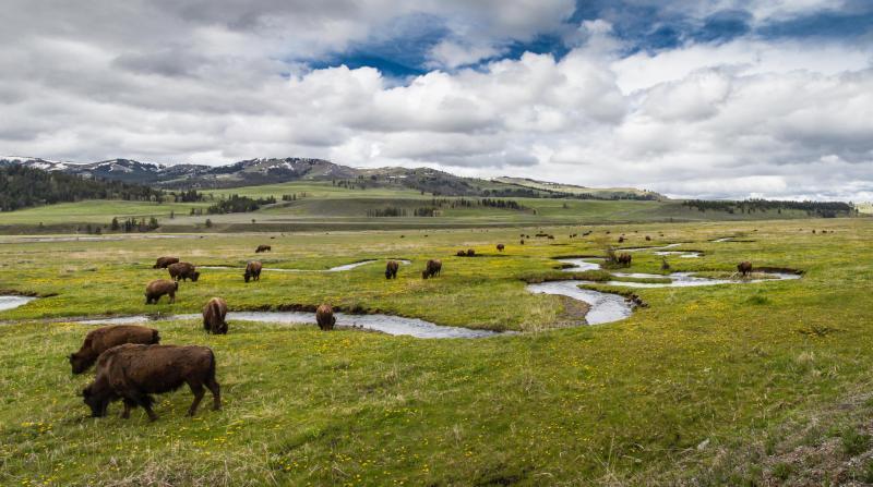 Troupeau de bisons, libre de droits.