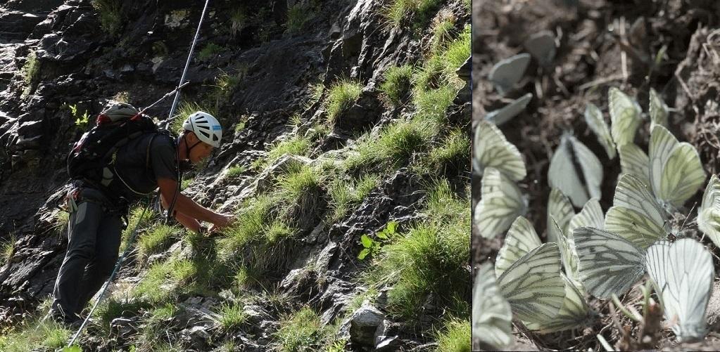 A gauche : A droite : Pieris bryonia et Aporia crataegi ©Michel Boutin A droite : Pieris bryonia et Aporia crataegi ©Michel Boutin
