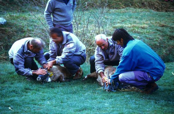 Réintroduction bouquetins dans le Champsaur - PNEcrins