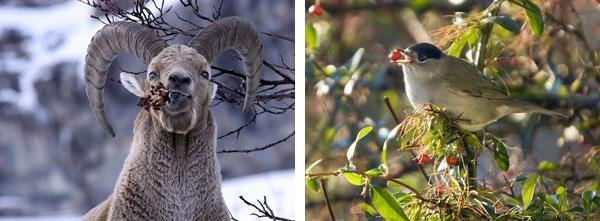 Les fruits sauvages constituent une ressource alimentaire non négligeable pour la faune sauvage -  © Parc national des Ecrins