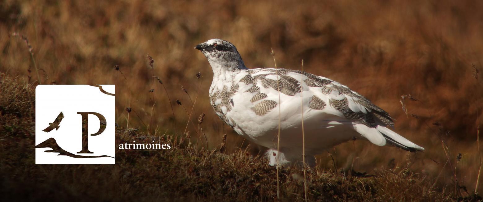 Lagopède alpin, espèce emblématique et prioritaire dans les Ecrins - © D.Combrisson / PNE