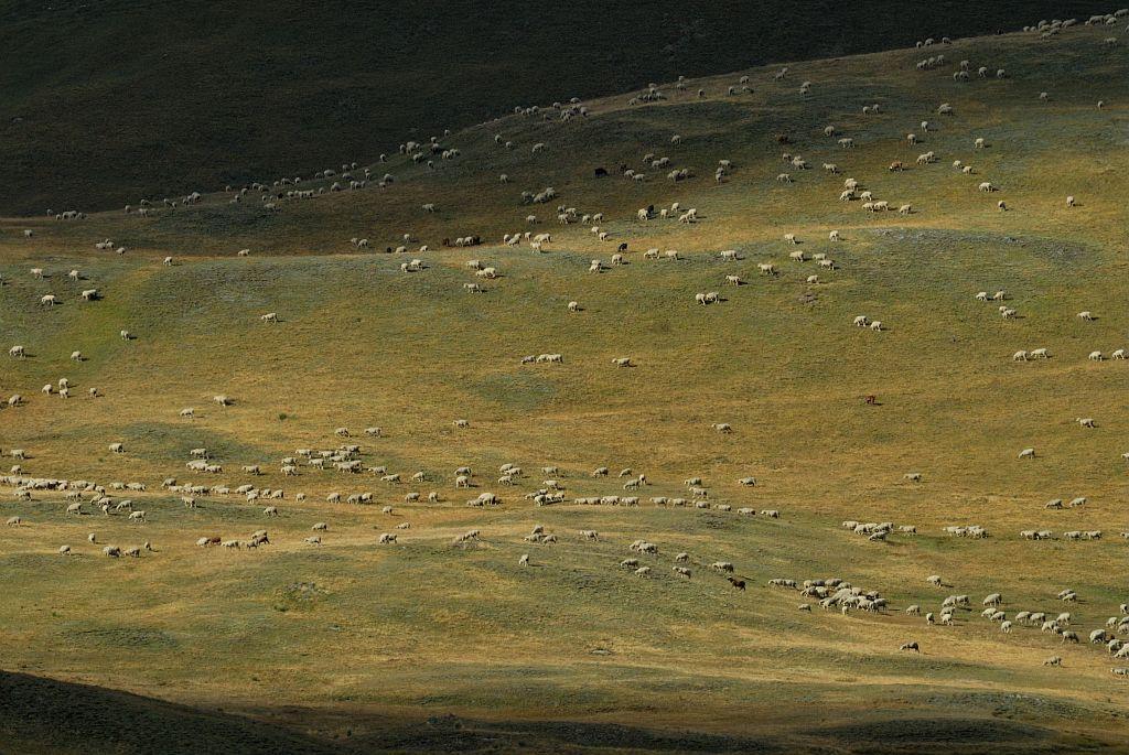 Troupeau au plateau d'Emparis -Besse © Mireille Coulon - Parc national des Ecrins