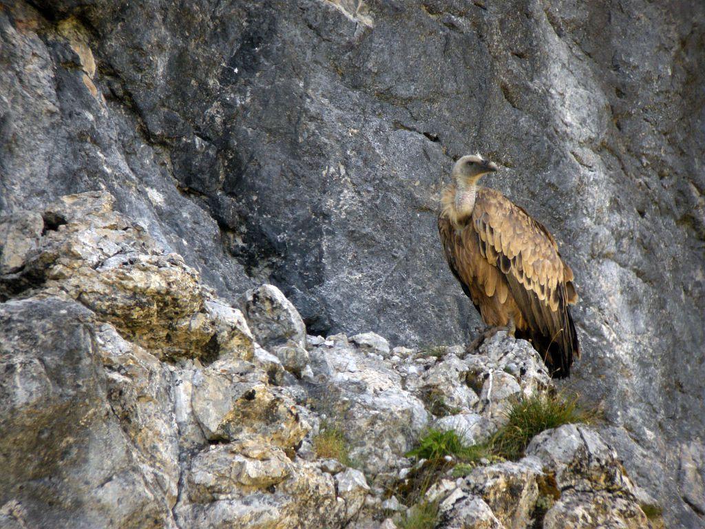 Vautour fauve © Damien Combrisson - Parc national des Ecrins
