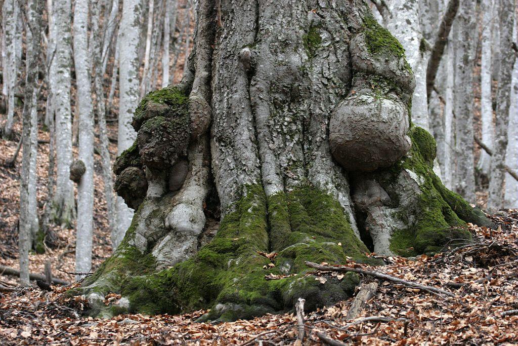 Hêtre remarquable © Marc Corail - Parc national des Ecrins