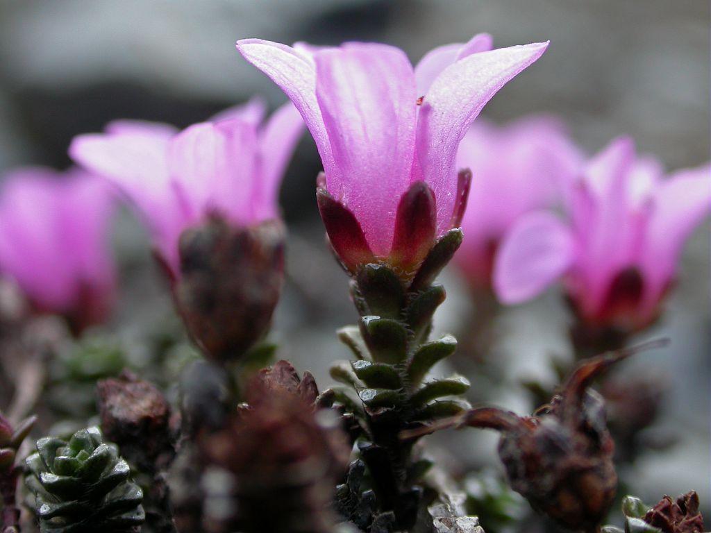 Saxifrage à feuilles opposées © Christophe Albert - Parc national des Ecrins