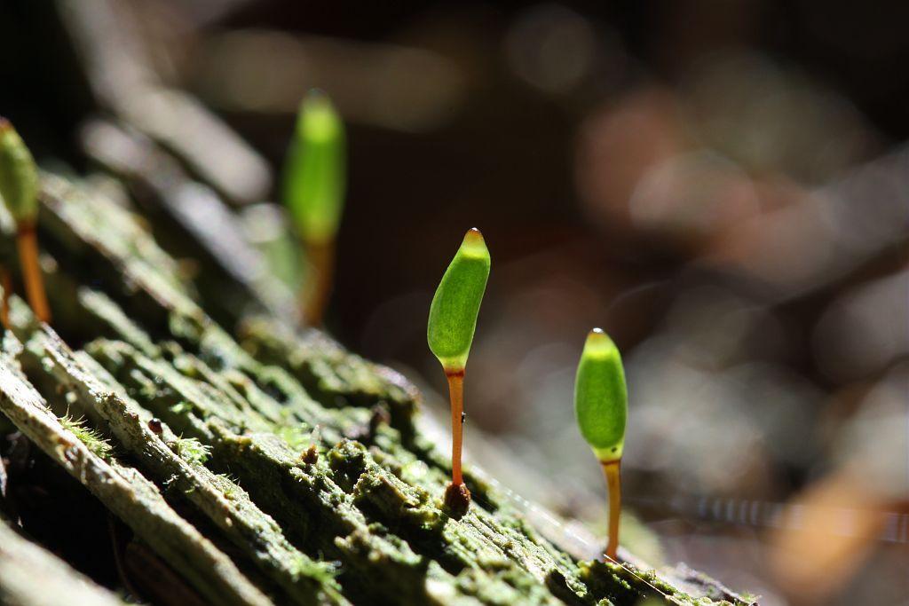 Buxbaumie © Cédric Dentant -Parc national des Ecrins