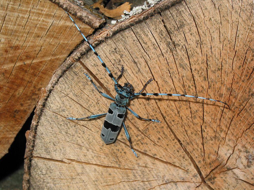 Rosalie des Alpes sur bois de hêtre tronçonné sur le site du Bouchet (le Périer) © Jean-Pierre Nicollet - Parc national des Ecrins