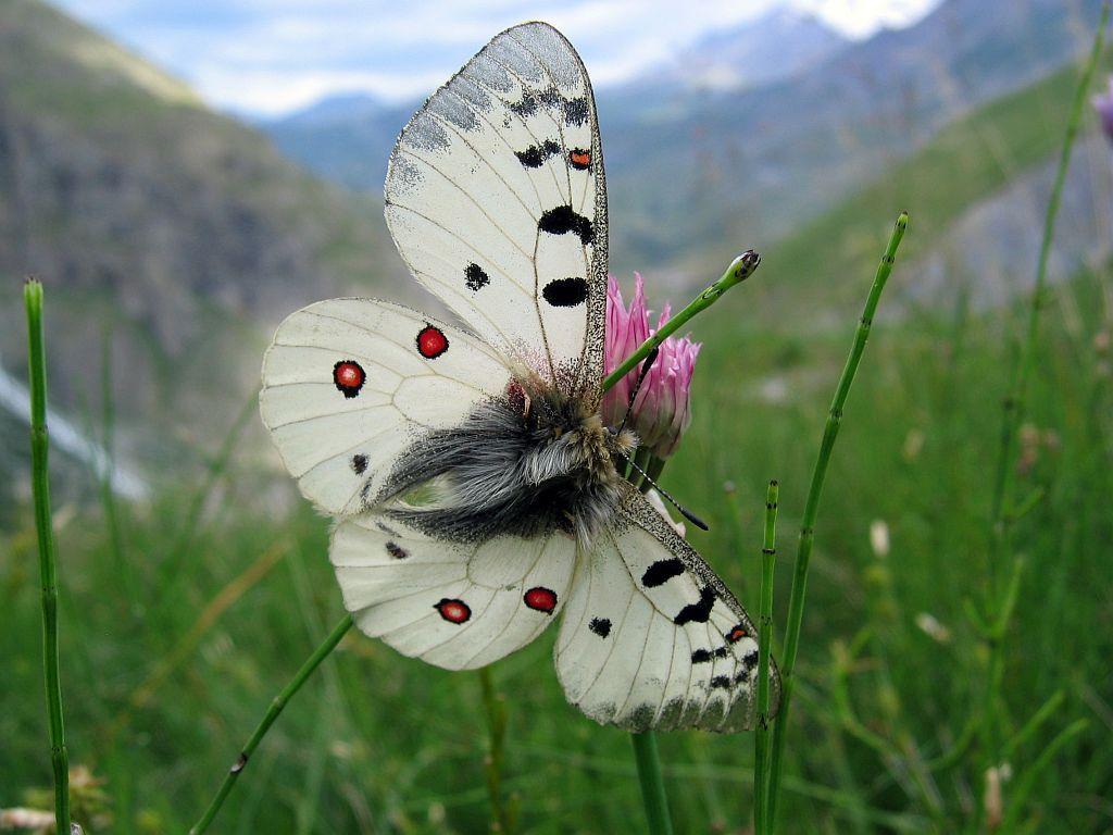 Petit apollon © Christophe Albert - Parc national des Ecrins