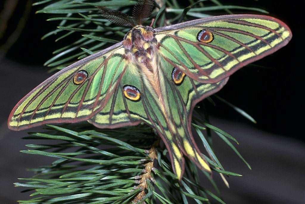 Papillon Isabelle de France © Bernard Nicollet - Parc national des Ecrins
