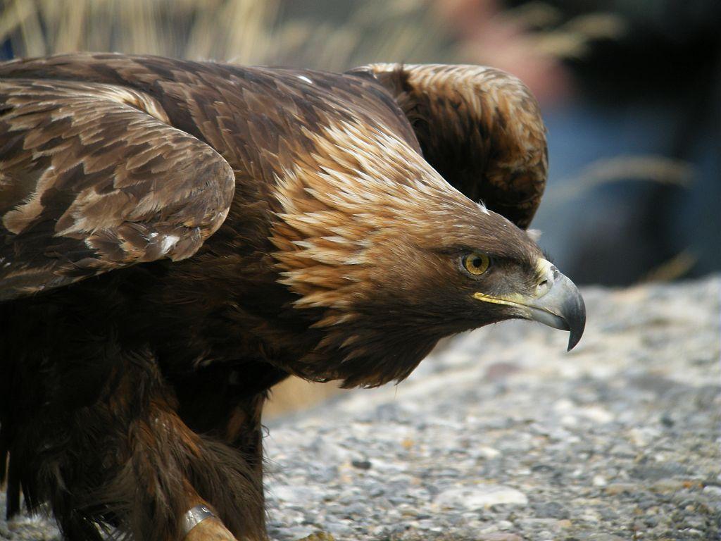 Aigle royal ©Daniel Combrisson - Parc national des Ecrins