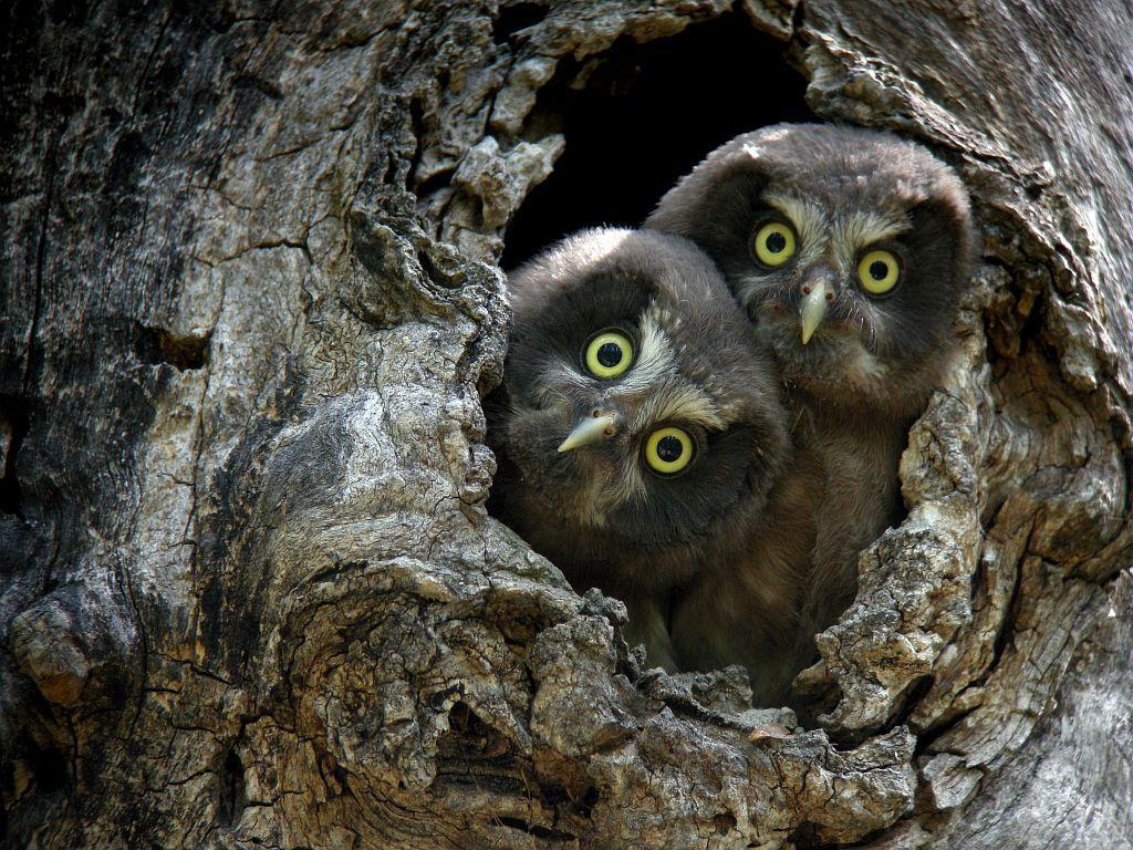 Jeunes chouettes de Tengmalm ©Daniel Combrisson - Parc national des Ecrins