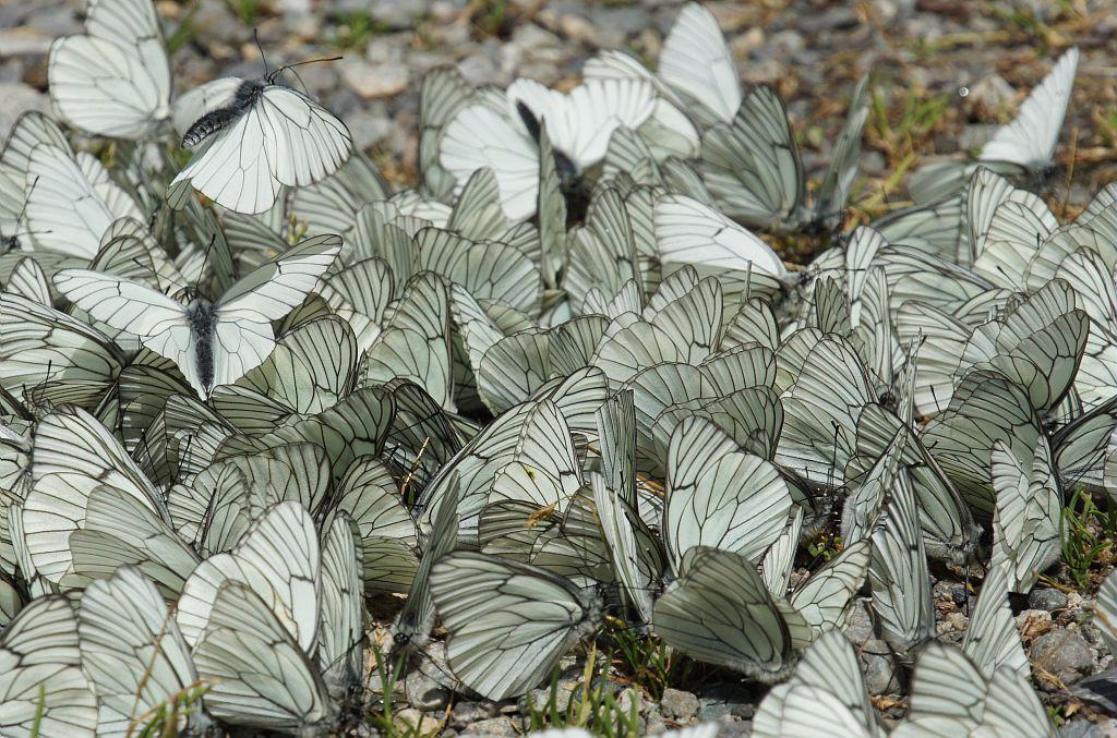 Papillons gazé © L-Imberdis - Parc national des ecrins