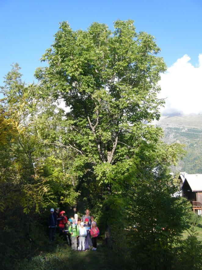 Frène, arbre totem des écoliers du Puy Saint-Vincent - intervention pédagogique Parc national des Ecrins