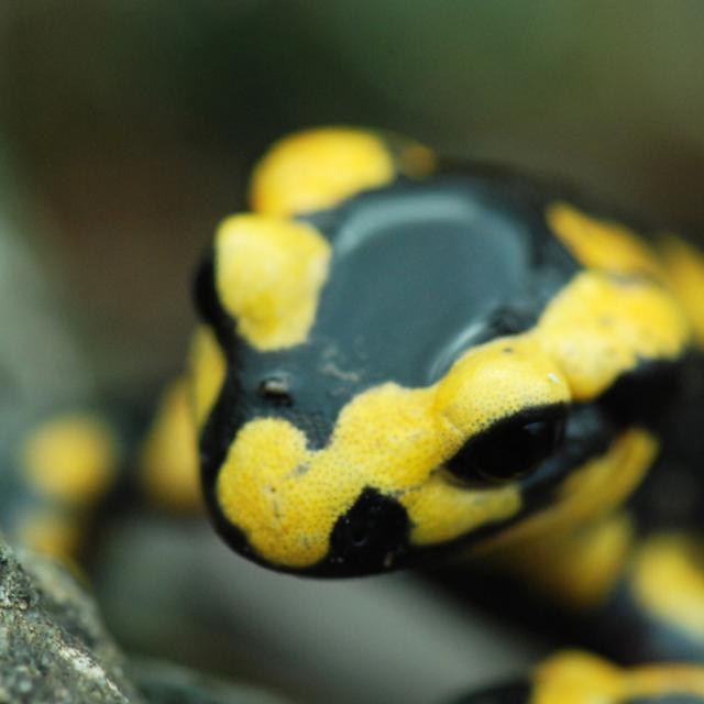 Salamandre  © Olivier Warluzelle - Parc national des Ecrins