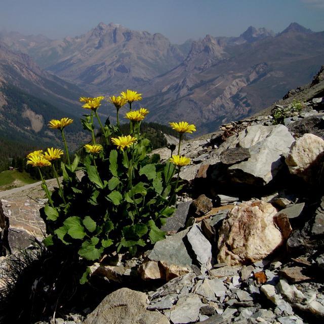 Le Doronic à grandes fleurs © Bernard Nicollet - Parc national des Ecrins