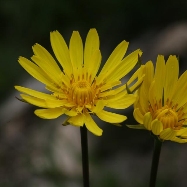Salsifis des près © B-Nicollet - Parc national des Ecrins