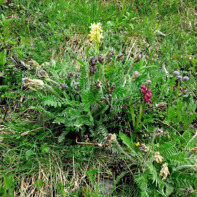 Oxytropide de Haller  © B.Nicollet - Parc national des Ecrins