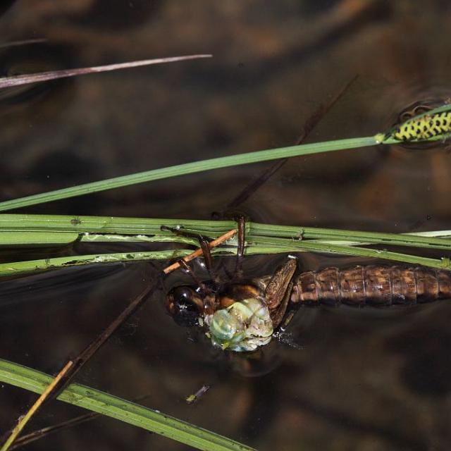 Début de mue aeschne © Marc Corail - Parc national des Ecrins