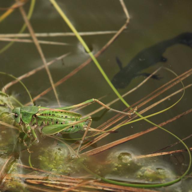 Gare à tous les insectes (ici un dectique verrucivore) qui tombent à l'eau: le triton n'est jamais loin © Marc Corail - Parc national des Ecrins