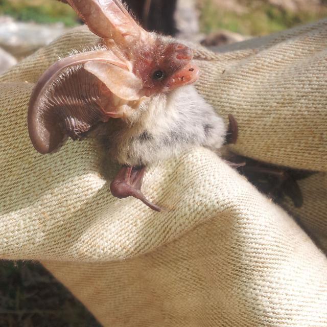 Détermination en main d'un oreillard roux © M.Corail - Parc national des Ecrins