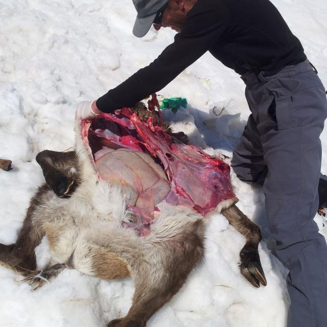 Autopsie sur site réalisée par un agent du parc national des Ecrins ©