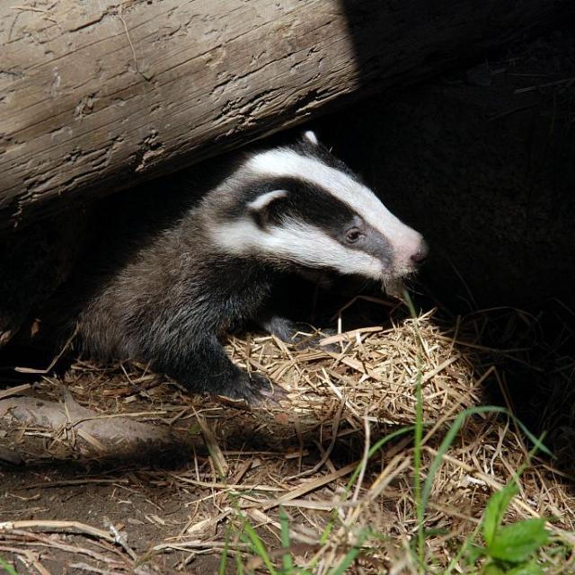Jeune blaireau © D.Fiat - Parc national des Écrins