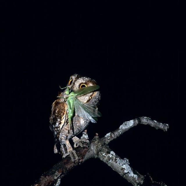 Petit Duc mangeant une sauterelle © Robert Chevalier - Parc national des Écrins