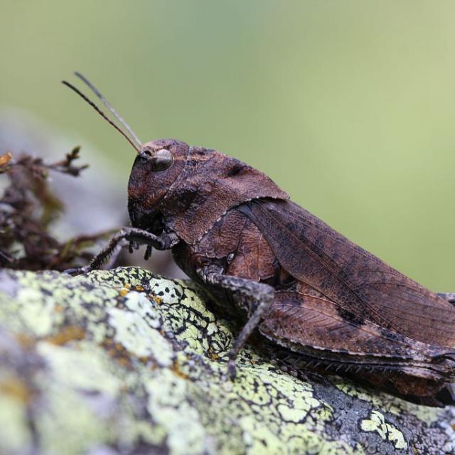 Psophus stridulus  © marc Corail - Parc national des Écrins