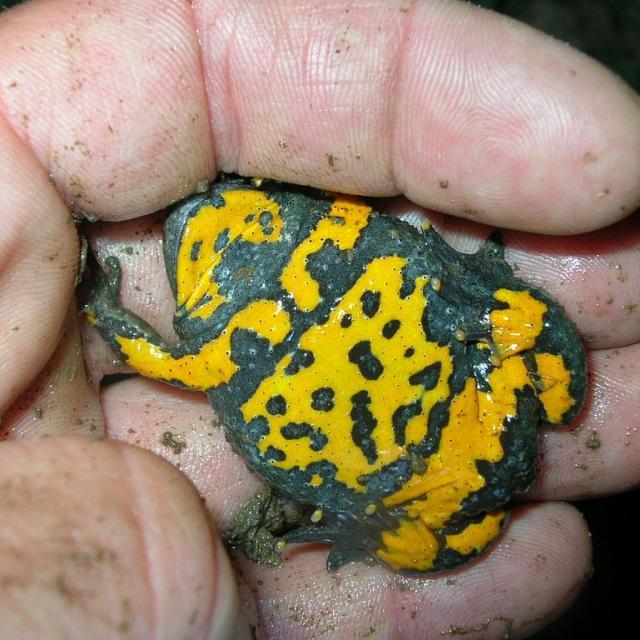 Sonneur à ventre jaune - étude et suivi © Parc national des Ecrins