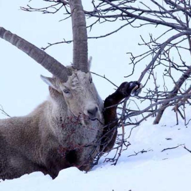 Ibex alisier - © Parc national des Écrins