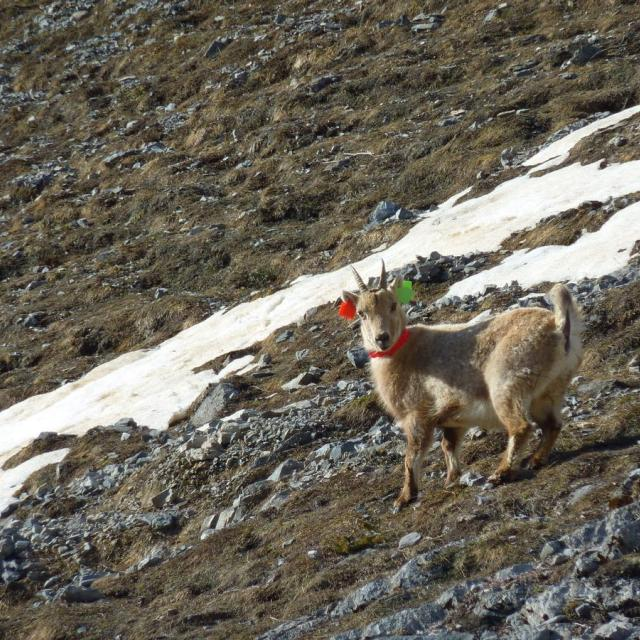 2016-04-capture bouquetins Cerces - © C-Coursier - Parc national des Écrins