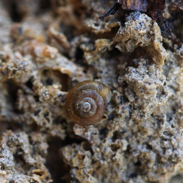 Discus ruderatus - réserve intégrale du Lauvitel - Parc national des Ecrins